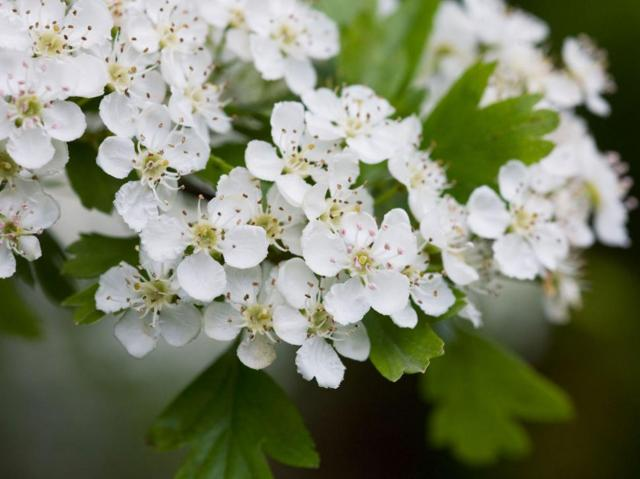 Hawthorn has been spotted in flower at New Year, a whole five months earlier than expected Alamy