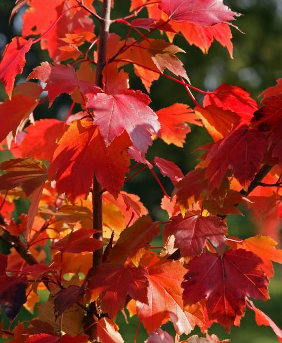 Acer_rubrum_'Scanlon' - autumn leaves