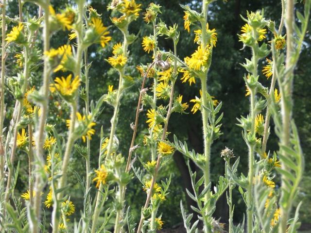 Silphium laciniatum- 'Compass plant'