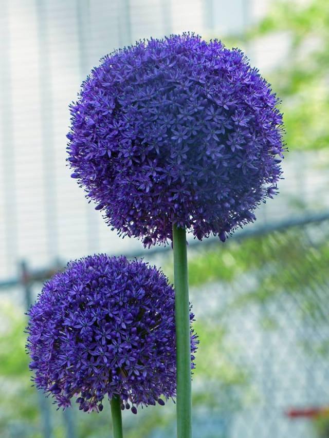 Purple Alliums by Ellen Zillin