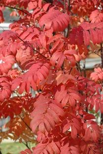 S. aucuparia 'Fastigiata' autumn leaves