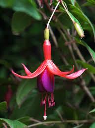 Fuchsia magellanica- flower