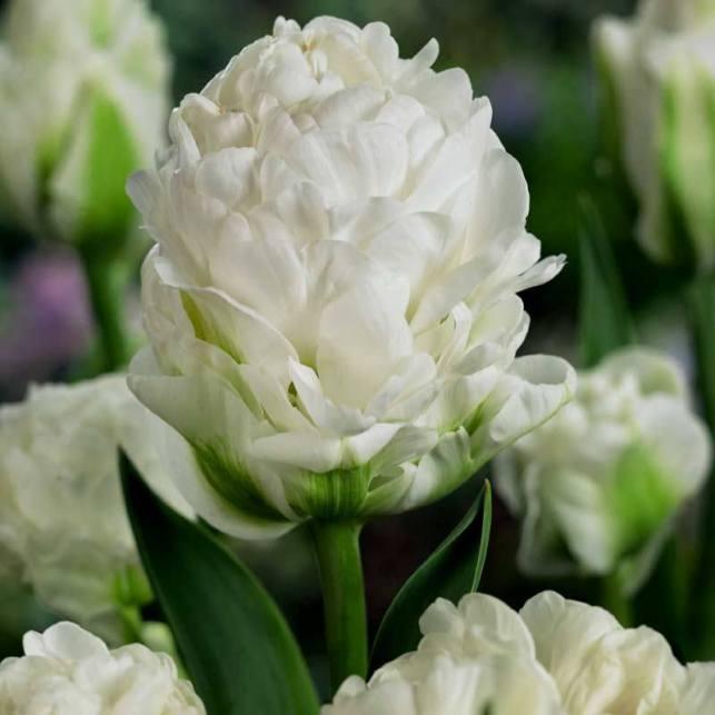 Tulip 'Harborlight'