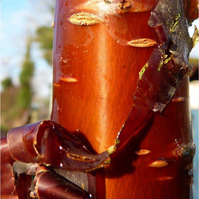 Prunus serrula - bark