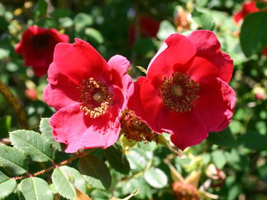Rosa moyesii- flowers