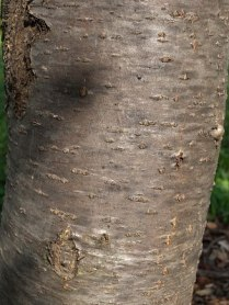 S. aucuparia bark