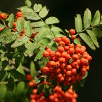 A -Z of Garden Trees: S is for Sorbus aucuparia