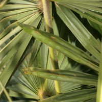 A -Z of Garden Trees: T is for Trachycarpus fortunei