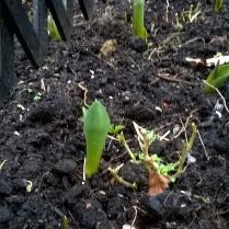 ...Tulips...