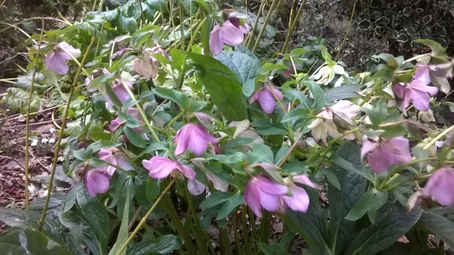 Hellebores one of a few winter flowers currently on show...