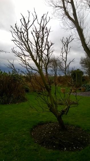 Apple trees pruned...