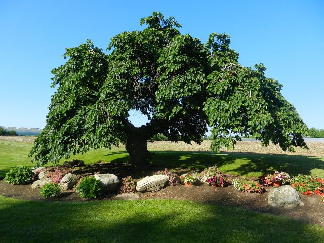 Camperdown Elm in Leamington, Ontario, Canada. Picture: jim5870