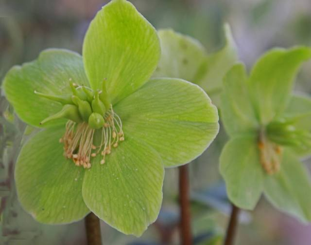 Hellebore- pic by Ann Stochaj