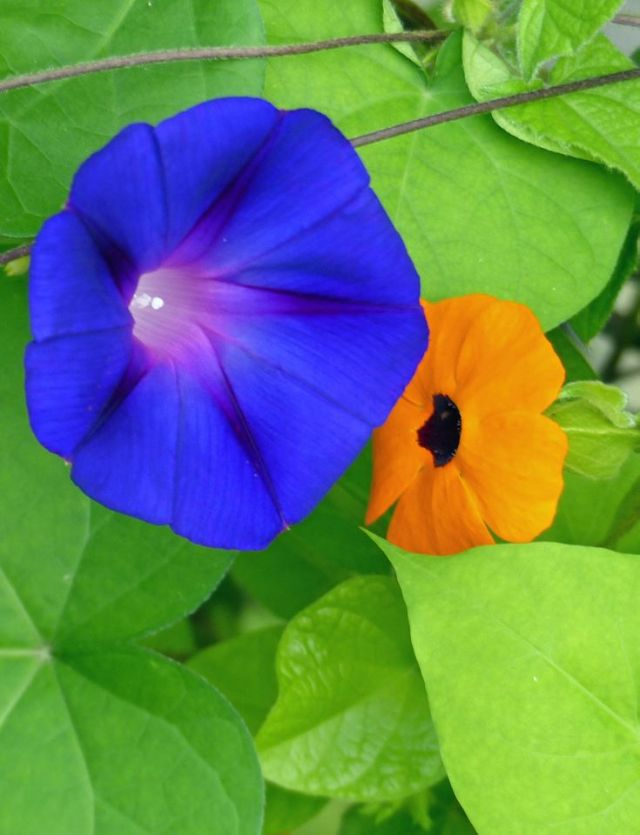 Morning Glory and Black Eyed Susan- pic by Ellen Zillin
