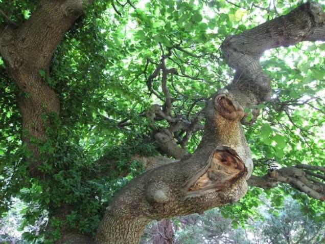 Trunk and bark of Ulmus glabra 'Camperdownii'...