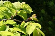 full leaf...