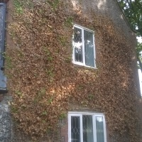 Top Tip: Controlling Ivy on buildings