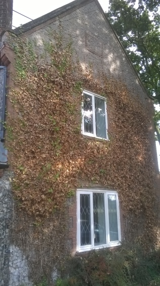 The wall at Old School after cutting through the main stems of the ivy- the dead foliage and stems remain...