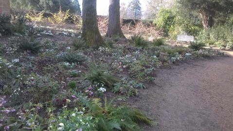 Snowdrops and Hellebores looking great in the Orangery Garden...
