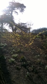 and sunlit Witch Hazel ...