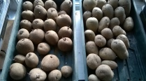 potatoes chitting...