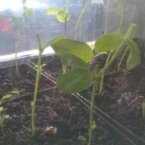 ..Sweet Pea seedlings just pinched out...