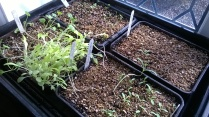 ...Lettuce, Scabious, Calabrese, Cosmos on the way