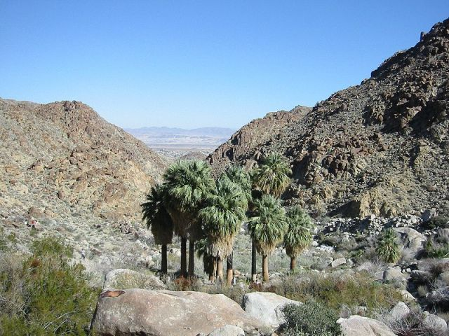 Washingtonia in a natural setting by Jim Harper