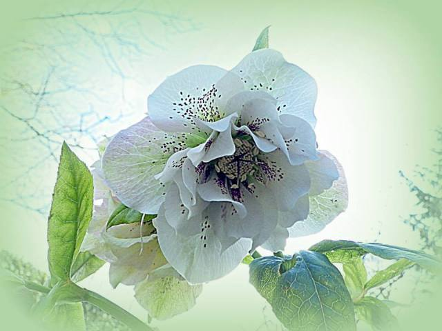 Hellebore: picture by Colin Garratt