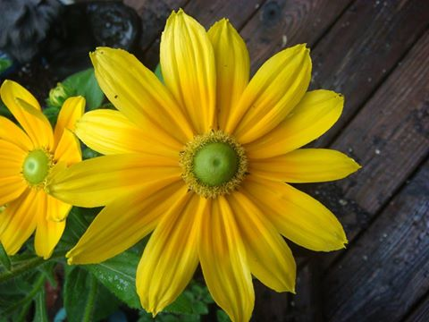 Green-eyed Rudbeckia: picture by Ellen Zillin