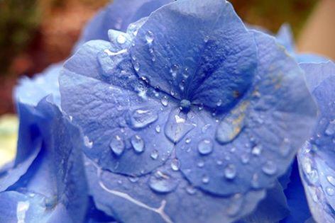 Hydrangea- picture Ellen Zillin