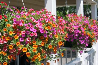 Hanging baskets filled with colourful annuals need a soil-less compost...