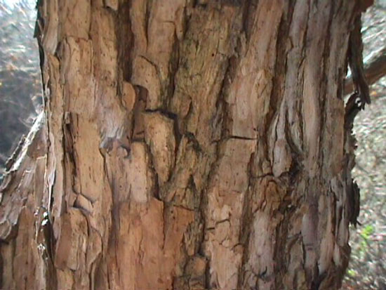 Vitex agnus-castus 'Rosea'- bark