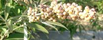 Vitex agnus-castus berries