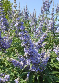 Vitex agnus- castus flower spike