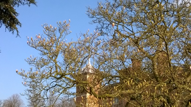 ...and the buds on this Magnolia are ready to burst...