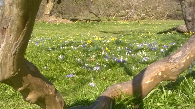 Crocuses looking good in the sun under the Oriental Plane Trees
