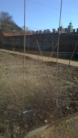 Newly planted pears along the central path...Mike is going to create a 'lattice' pattern in the middle of this stretch...