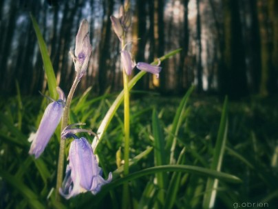 Pictures of Bluebells in Ireland by Gareth O' Brien