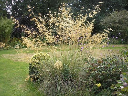 Stipa gigantea- wonderful