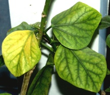 chloroticleaves