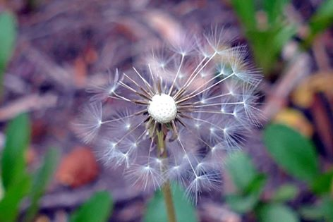 Dandelion clock -picture by Ellen Zillin