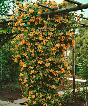 honeysuckle 'goldflame'