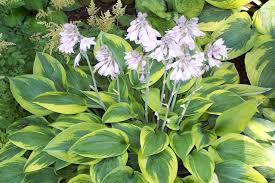 Hostas are usually grown for their foliage- which comes in all sorts of patterns and hues, but the flowers can also be very attractive