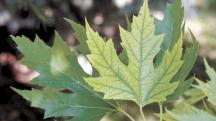 iron deficiency maple