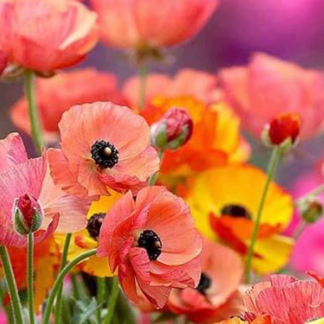 Poppies by Darlusz Langrzyk