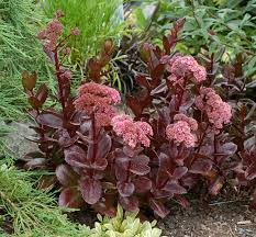 Sedum 'Chocolate Drop'- the foliage as attractive as the flower- and what a combination!