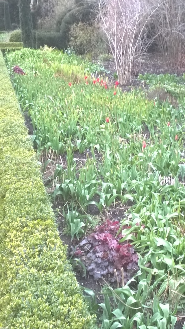 The first Tulips are starting to show in the double borders