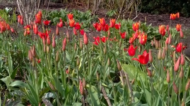 ..tulips starting to do their stuff...