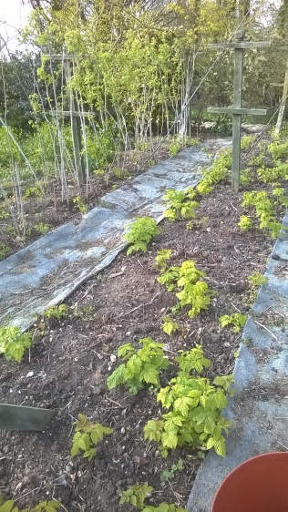 Raspberries tied in and mulched